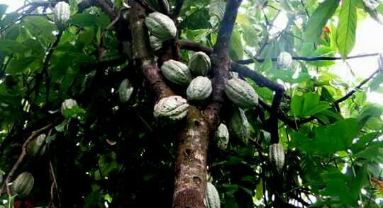Agriculture : Les filières de cacao sous la menace du fléau de la moniliose